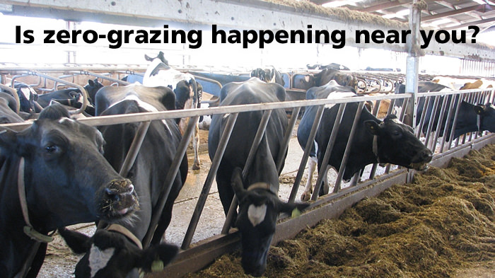 Zero grazing dairy cattle