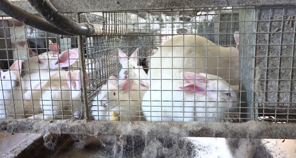 Factory farmed bunnies and does in cages