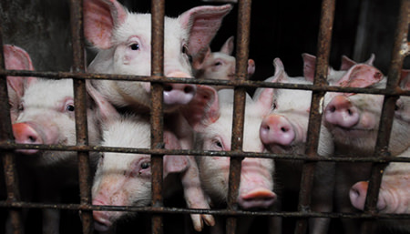 factory farmed pigs