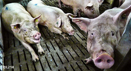 FActory farmed french pigs