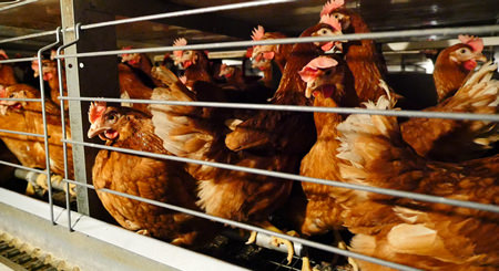 factory farmed french hens