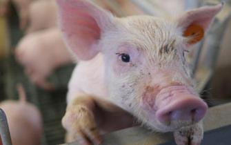 Piglet in Factory Farm