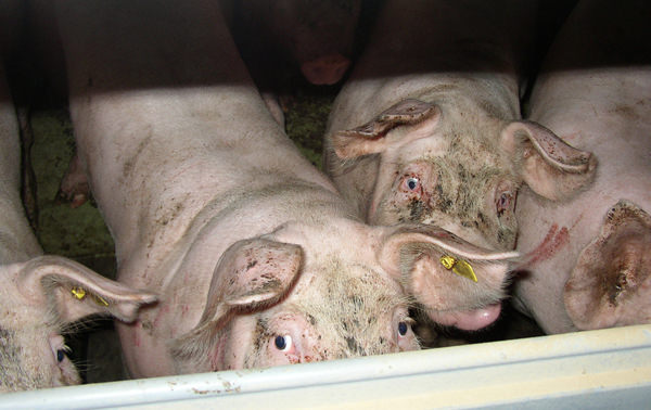 intensively farmed pigs staring through bars