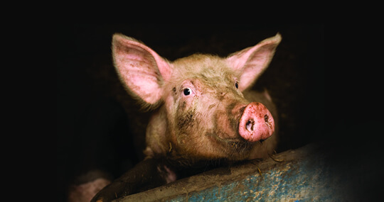 Close up of a pig in the darkness of the intensive indoor farm