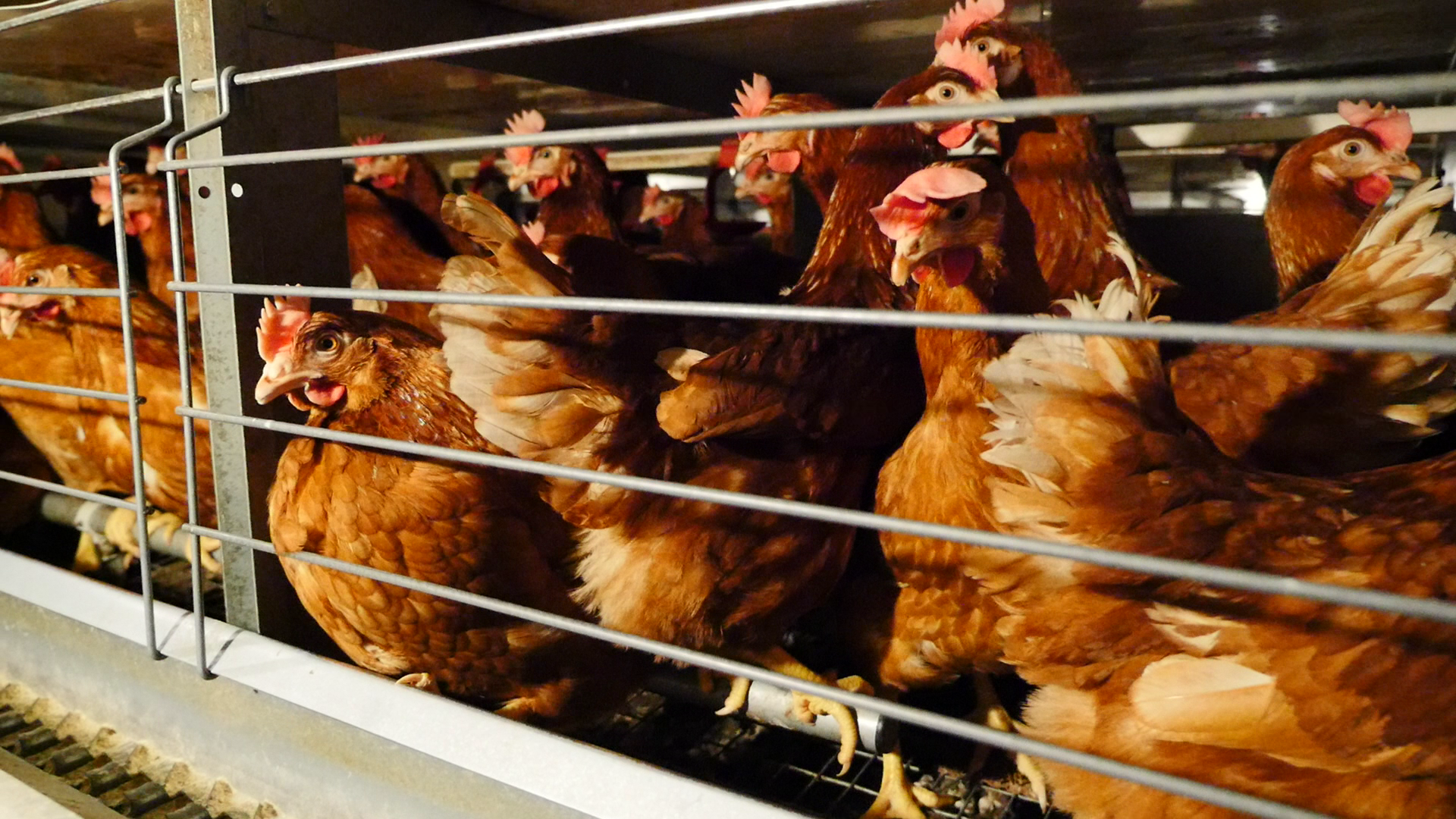 Hens in cages