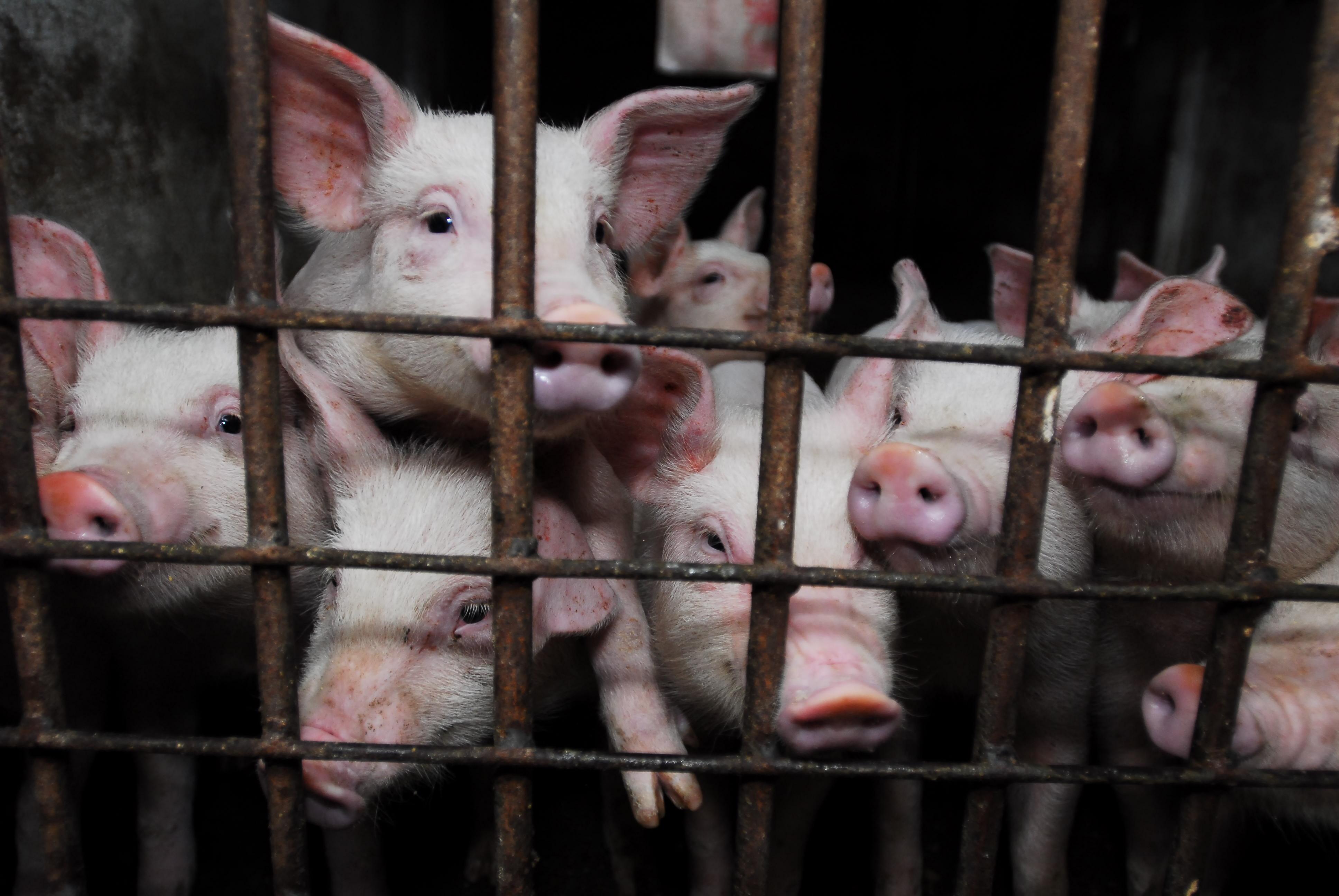 Pigs behind bars