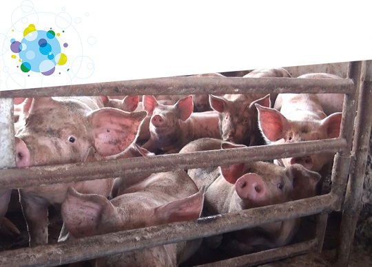 crowded pig in factory farm pen
