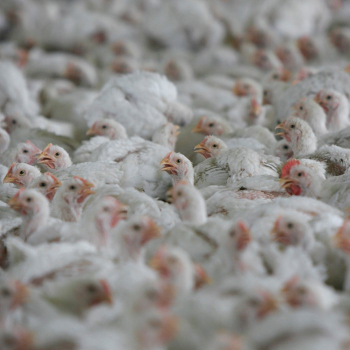 crowded shed of broiler chickens