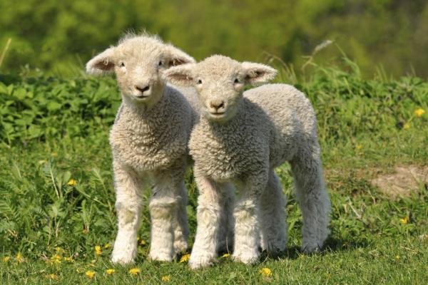 Two lambs outside