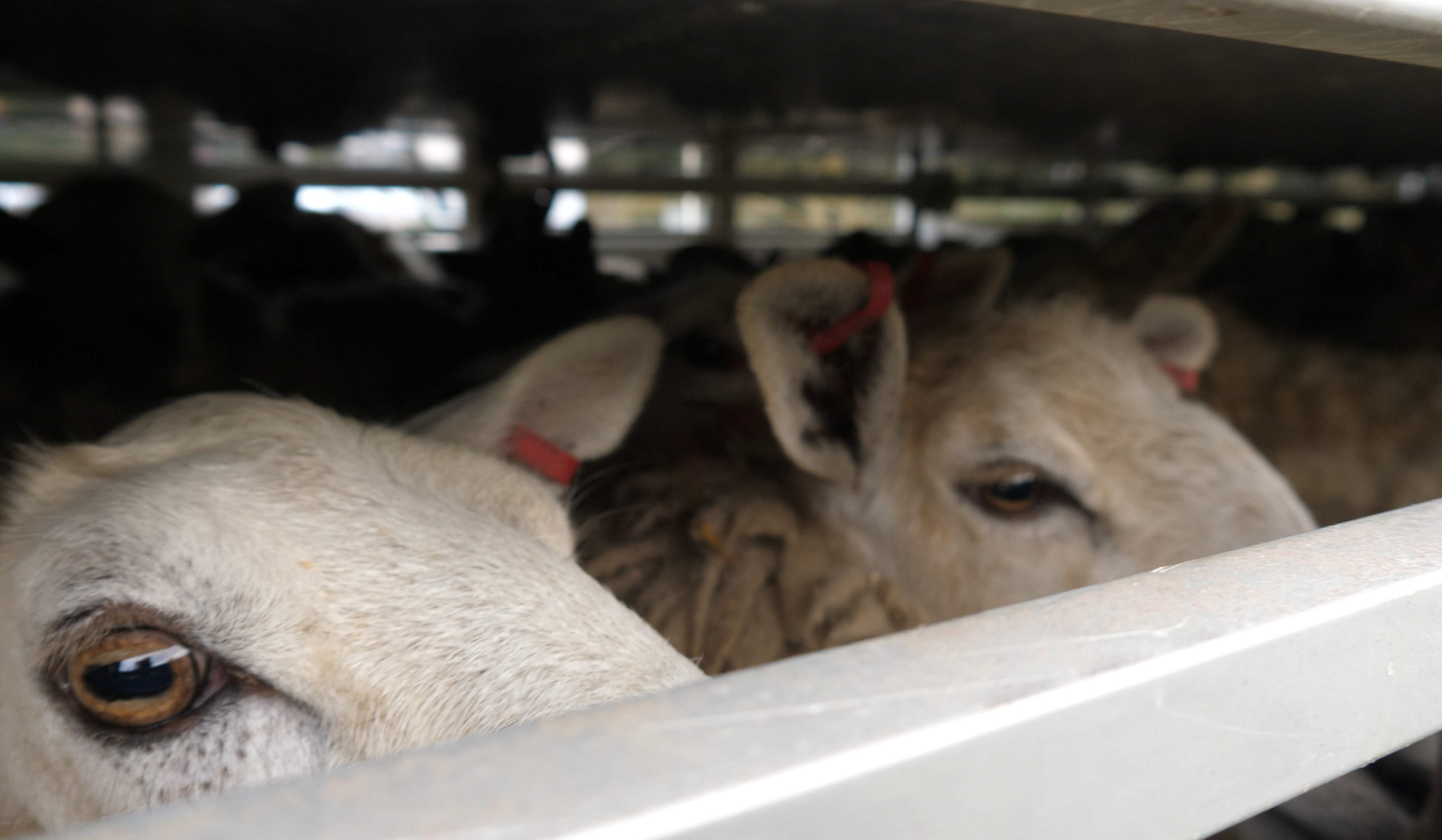 line of sheep in a transport truck