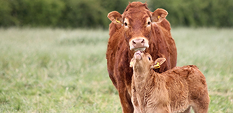 cow with calf interacting in a field