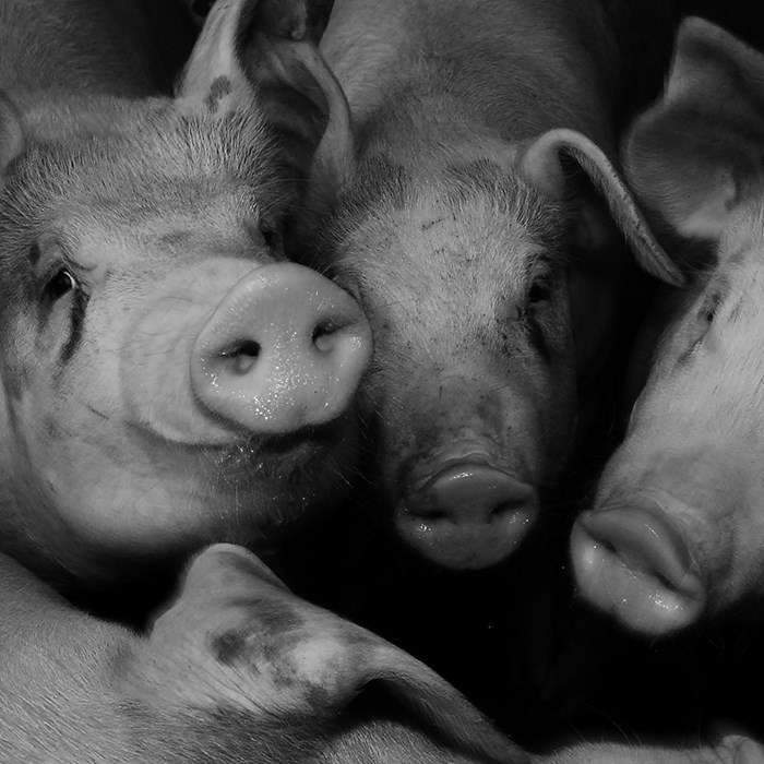 crowded pigs in a pen black and white