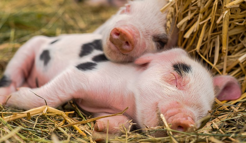 piglets sleeping together on straw bed