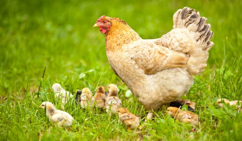 A mother hen with her chicks