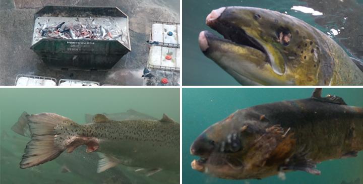 collecte des conditions du poisson dans la ferme piscicole