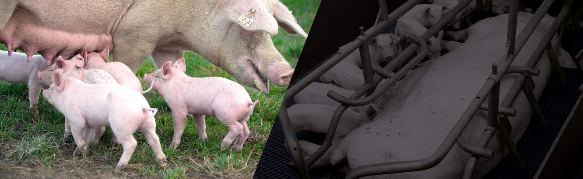 cochons en élevage intensif