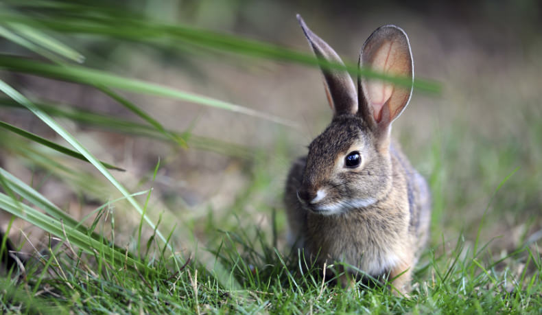 brown rabbit outside on grass