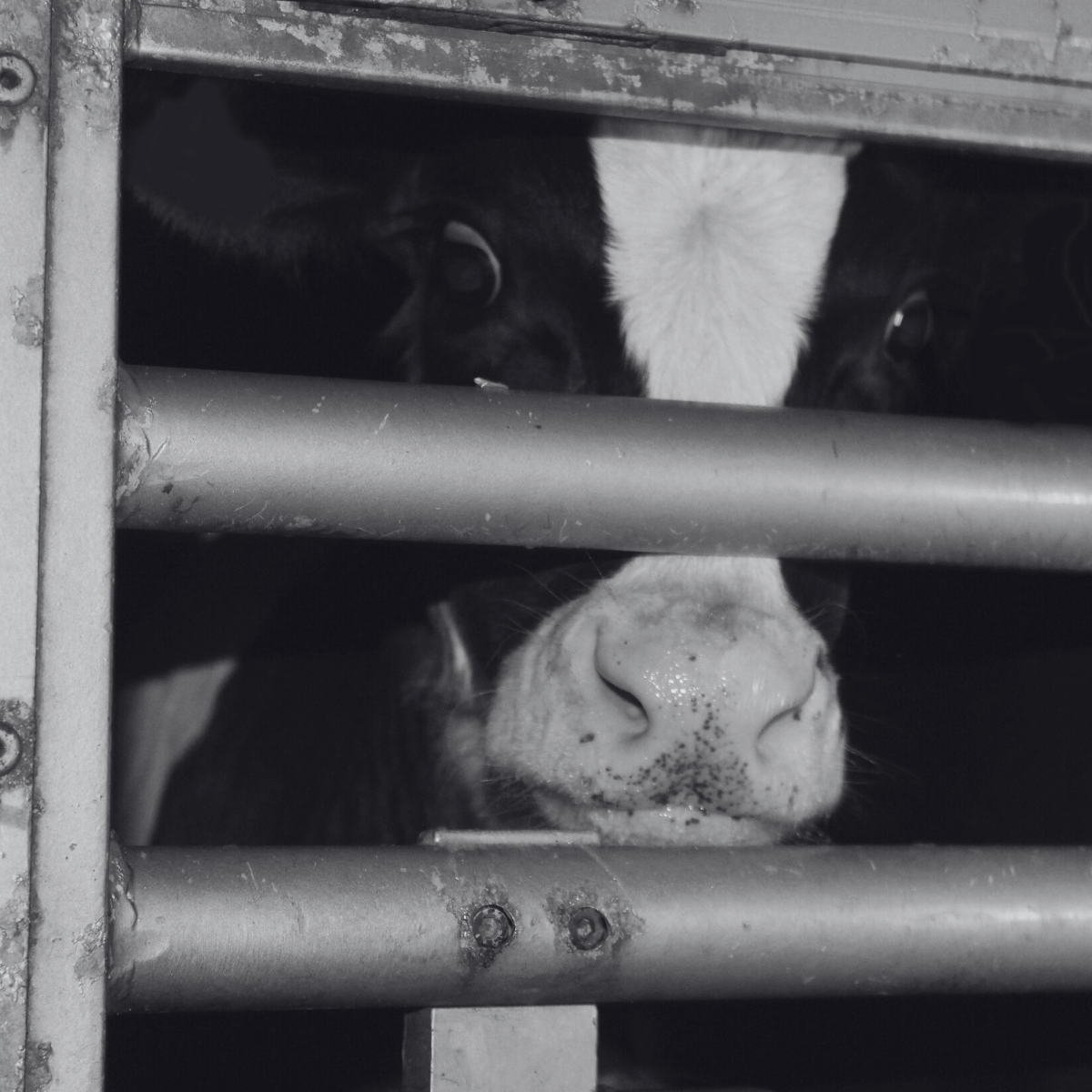 Scared cow in transport