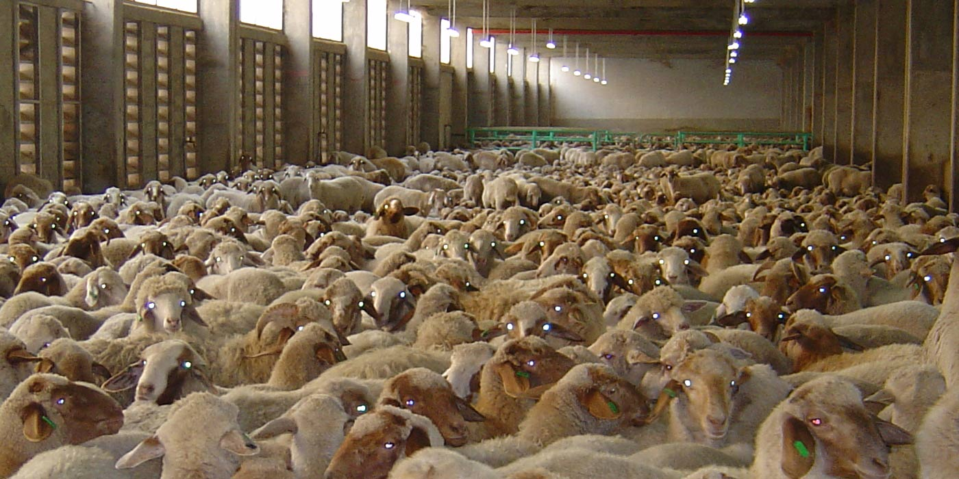 Sheep being transported in poor conditions