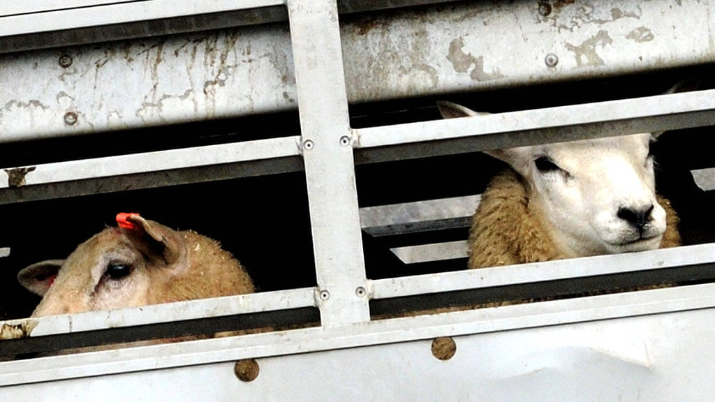 Exportations de moutons