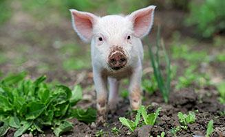 piglet standing in a muddy field