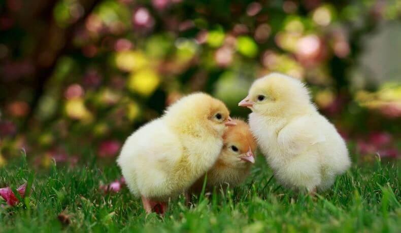 Młode kurczaki na trawie
