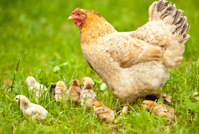 Happy hen with chicks on grass